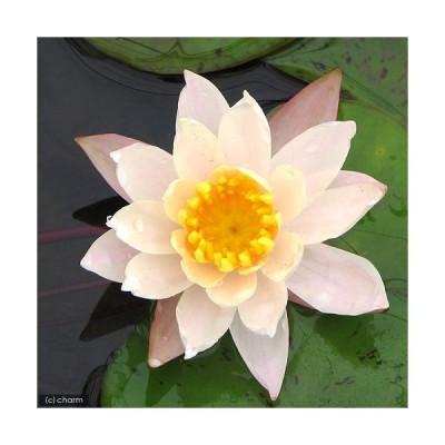 (ビオトープ)睡蓮 温帯性睡蓮(スイレン)(桃) ピーチ リリー Peace Lily (1ポット)