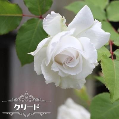 四季咲き半つるバラ クリード 2年生大苗 予約販売12〜翌1月頃入荷予定