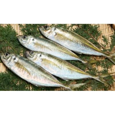 OM-03 獲れたて鮮魚 アジ約1kg(2~3匹)