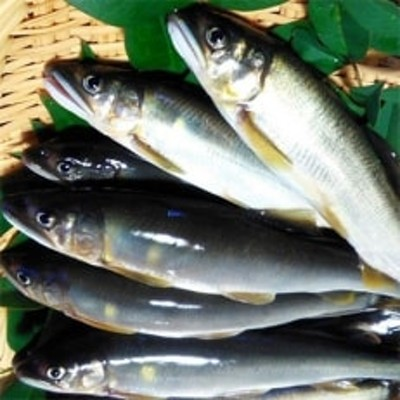 山国川で育った 天然鮎 650g(5~10尾)
