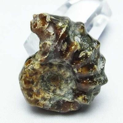 ドゥビレイセラス  化石 t723-1472