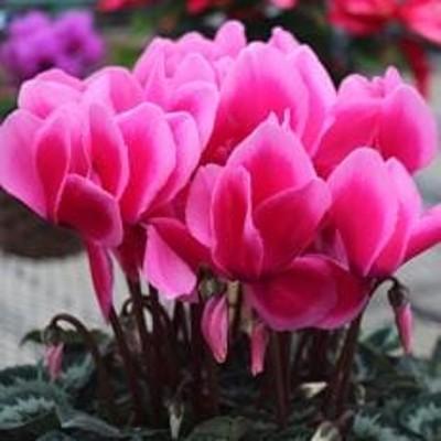 高級感溢れるボリュームたっぷりのシクラメン鉢植え 6号鉢入 ピンク系