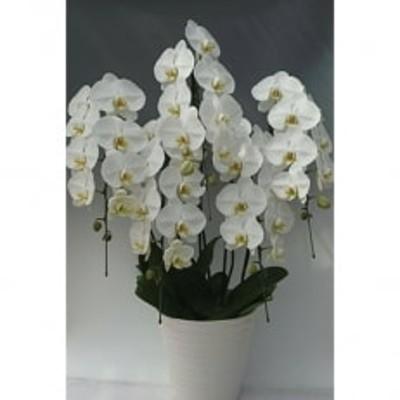 【産地直送】湘南藤沢の白大輪胡蝶蘭5本立ち 陶器鉢寄せ植え