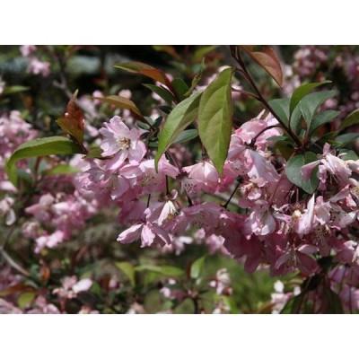 ハナカイドウ 2.0m露地 1本 1年間枯れ保証 シンボルツリー落葉