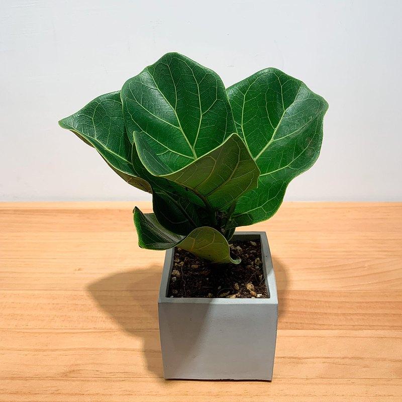 【pinkoi嚴選】琴葉榕 水泥盆栽 盆栽 淨化空氣 畢業禮物 開幕送