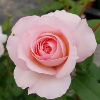 【12/29-1/6出荷停止】バラ苗 2年大株 4号 シュロスオイティン Floribunda Roses N0847 送料無料 贈答 大感謝祭 お歳暮