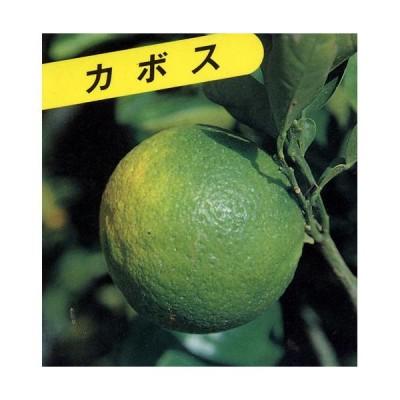 柑橘類の苗 カボス 1年生苗木