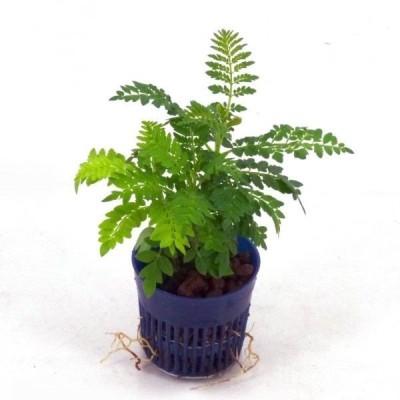 ジャカランタ リトル苗 1.5号 4.5Φ 観葉植物 ハイドロカルチャー 水耕栽培 インテリアグリーン