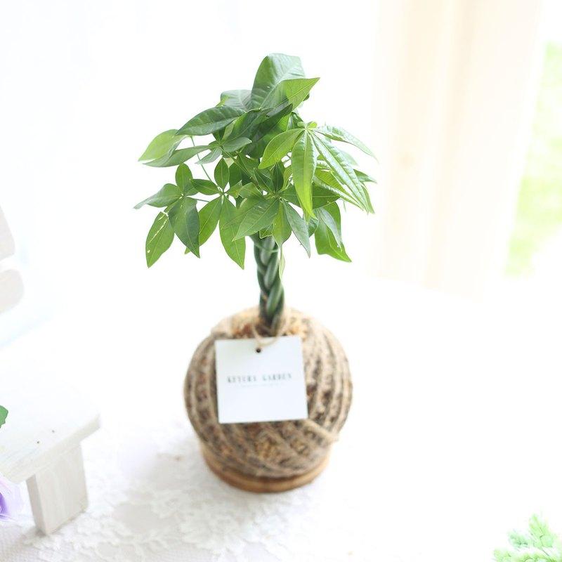 觀葉植物*PD22/馬拉巴栗/小苔球/發財樹/聖誕節/交換禮物爸爸禮物