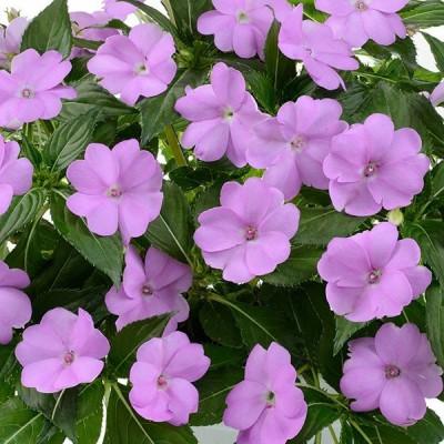 草花の苗/サマーインパ:ラベンダー(薄紫)3.5号ポット