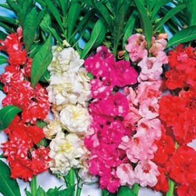 鳳仙花 種  椿咲 混合  小袋(約100粒) ( 鳳仙花の種 )
