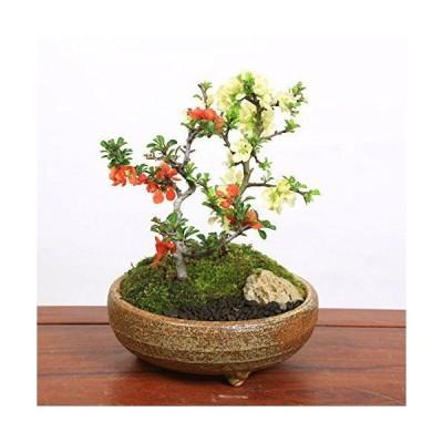 小品盆栽:紅白長寿梅寄せ植え(信楽焼小鉢)*bonsai