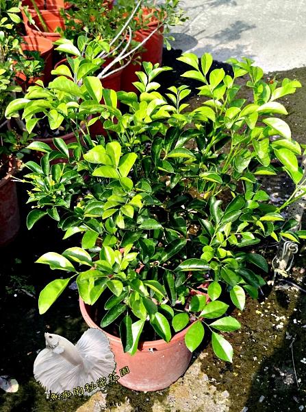 [超香 大花七里香盆栽 ] 6吋盆活體香花植物盆栽