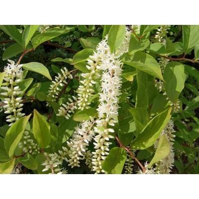 コバノズイナ 0.3m12cmポット 1本 1年間枯れ保証 春に花が咲く木
