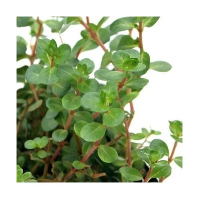 (ビオトープ)水辺植物 ロタラ 赤系(1ポット)湿生植物