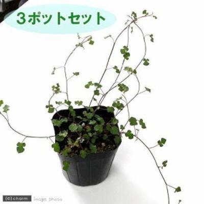 (観葉植物)ワイヤープランツ スペード 3号(3ポット)