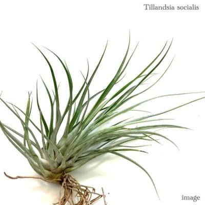 チランジア ソシアリス   (エアープランツ ティランジア 観葉植物 おしゃれ 壁掛け インテリア ミニ 小型 大型 吊り下げ 室内 socialis)
