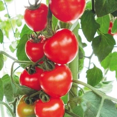 種 野菜たね 抑制栽培トマト F1けっさく 1袋(15粒) / 野菜のタネ 野菜 種子 国華園