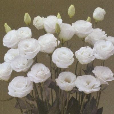 花の種(営利用)八重咲き系(中生種)F1ラパン 3000粒 ペレット種子 タキイ種苗(メール便発送)