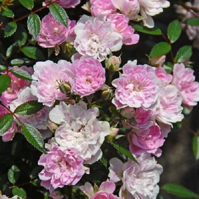 バラ 「宇部小町ウベコマチ」春苗 (新苗) ピンク系  二季咲(CL) つるバラ クライミングローズ バラ苗 薔薇 (202108)