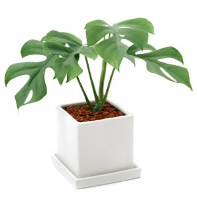 (観葉植物)ヒメモンステラ 陶器鉢植え ダイスM WH(1鉢) 受け皿付き