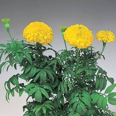 花の種(営利用)マリーゴールド パーフェクションイエロー 1000粒 クリーンシード サカタのタネ 種苗(メール便発送)