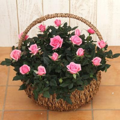 ミニバラバスケット「パニエ ド フルール(ピンク)」 ラン・鉢物・観葉植物