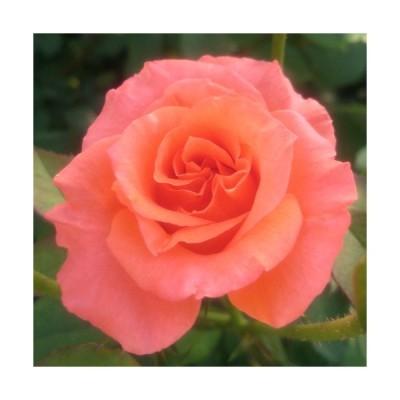 【12/29-1/6出荷停止】バラ苗 2年大株 4号 タンジェリーナ Hybrid tea Roses H0198 送料無料 贈答 大感謝祭 お歳暮