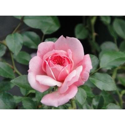 長尺つるバラ苗ピンク色 ポール トランソン  送料別途 毎年10月から翌年06月までお届けの苗