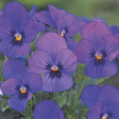 花の種(営利用)ビオラ F1ビビ系 F1ビビ サファイアウィズブロッチ 1000粒 タキイ種苗(メール便発送)
