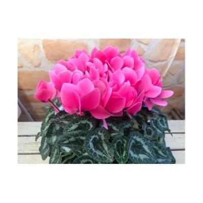 高級シクラメン鉢植え ピンク系5号