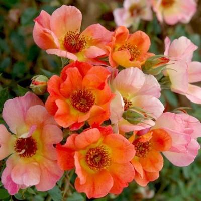バラの苗/バラの新苗予約:第一弾 ドミニクローズ:シャトー・デ・ベルタングル新苗