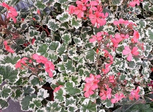 花花世界_香草植物--斑葉天竺葵--(賞葉又可觀花)/5/6吋盆/高20-30CM/TC