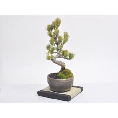 敷物 ミニ畳 15角 15cm×15cm【敷物  ミニ畳 15cm角   盆栽や鉢植えを室内に飾るなら】