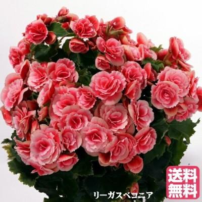母の日 リーガスベコニア 【ボリアス】鉢花 人気品種 室内で育てやすい 鉢植えギフト プレゼント