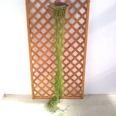 観葉植物/(わけあり特価)バナナネックレス5号壁掛け吊鉢ロング仕立て