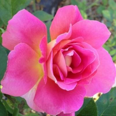 【12/29-1/6出荷停止】バラ苗 2年大株 4号 コンテスヴァンダル Hybrid tea Roses H0163 送料無料 贈答 大感謝祭 お歳暮