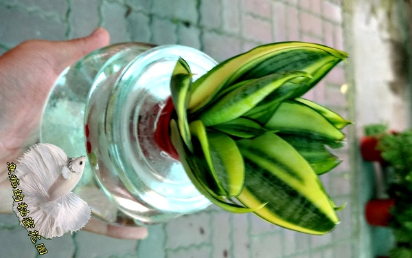 [ 虎尾蘭 虎皮蘭 水耕盆栽] 玻璃瓶水耕植物盆栽  室內佳 可以淨化空氣 吸甲醛