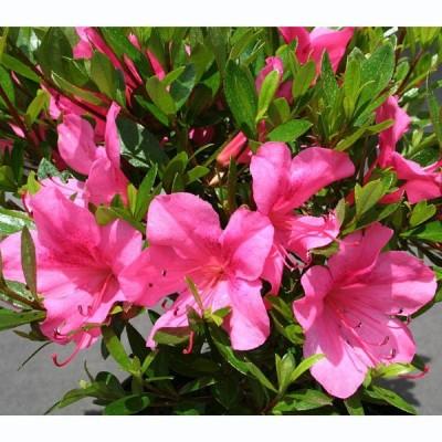 花木 庭木の苗/サツキツツジ:大盃(おおさかずき・ピンク一重)5号ポット5株セット