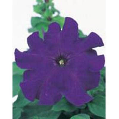 花の種(営利用)ペチュニア イーグル ブルー 1000粒 ペレット種子 サカタのタネ 種苗(メール便発送)