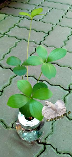 [巴西幸運樹 闊葉鐵樹水耕盆栽] 玻璃瓶水耕植物盆栽  室內半日照佳