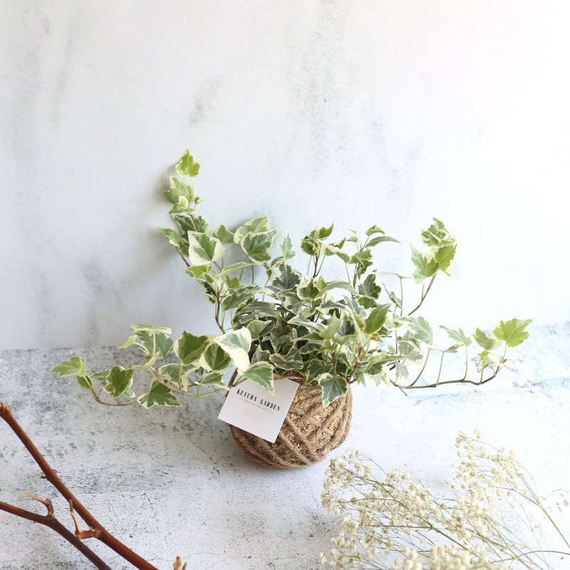 觀葉植物*PD14/常春藤/小苔球/聖誕節/聖誕樹/交換禮物/聖誕禮物