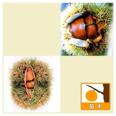 果樹の苗/栗(クリ)2種受粉樹セット:丹沢(たんざわ)と筑波(つくば)4〜5号ポット