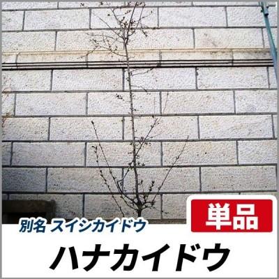ハナカイドウ 樹高1.8〜2.0m前後(根鉢含まず) 単品