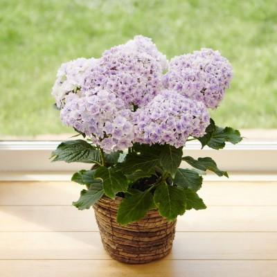 【母の日ギフト・早期お届け】八重咲きアジサイ「プリンセスシャーロット」