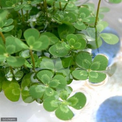 (ビオトープ)水辺植物 メダカの鉢にも入れられる水辺植物 ウォータークローバー ムチカ(1ポット) 抽水~浮葉植物