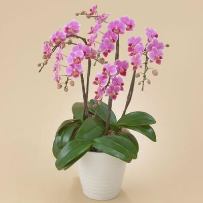 ミディ胡蝶蘭(ピンク)5本立ち ラン・鉢物・観葉植物
