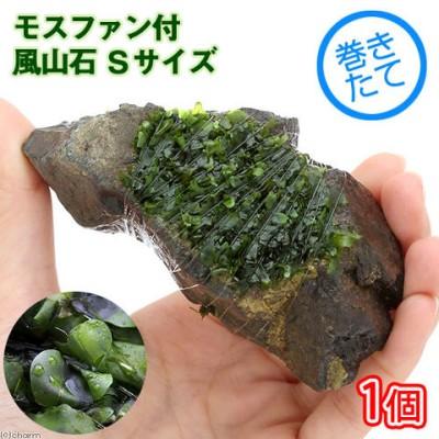 (水草)巻きたて モスファン付 風山石 Sサイズ(約10cm)(無農薬)(1個)