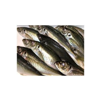 八幡浜市 ふるさと納税 竹中水産の一本釣り真鯵!1.5キロ前後【D22-239】