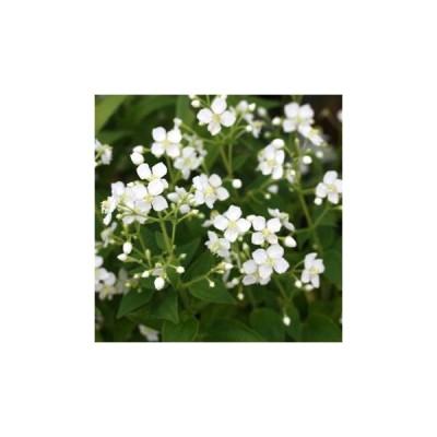 白花ハシカンボク